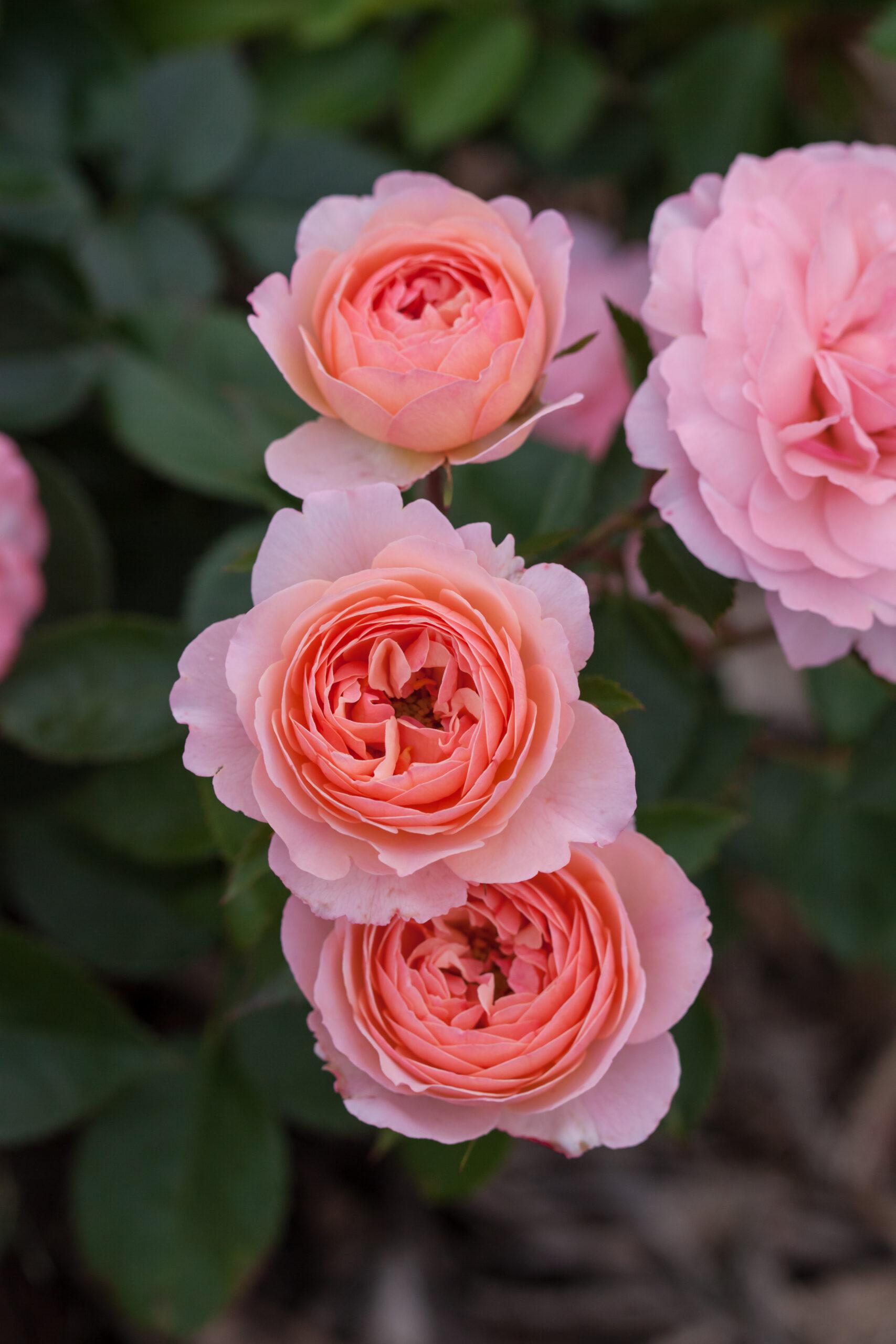 RosaEasyEleganceCalypsoapricotblend-02-5454-1-1