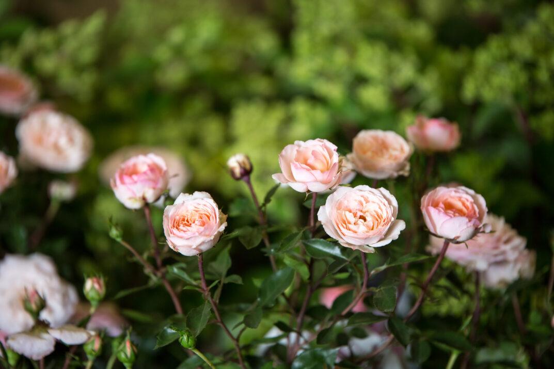 RosaEasyEleganceCalypsoapricotblend-09-5454-1-1