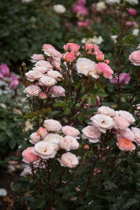RosaEasyEleganceCalypsoapricotblend-11-5454-1-1