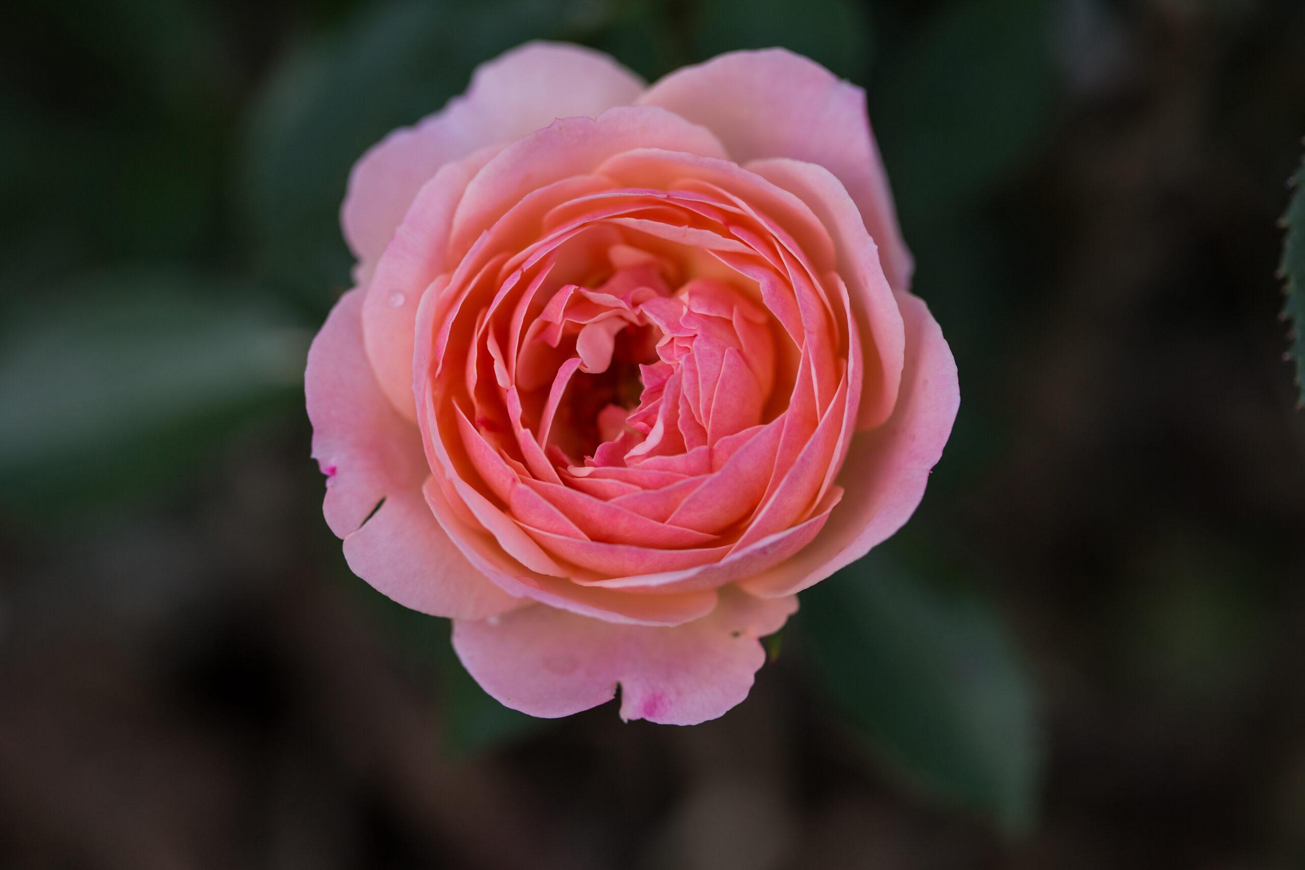 RosaEasyEleganceCalypsoapricotblend-26-5454-1-1