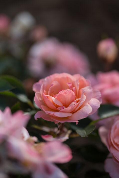 RosaEasyEleganceCalypsoapricotblend-31-5454-1-1