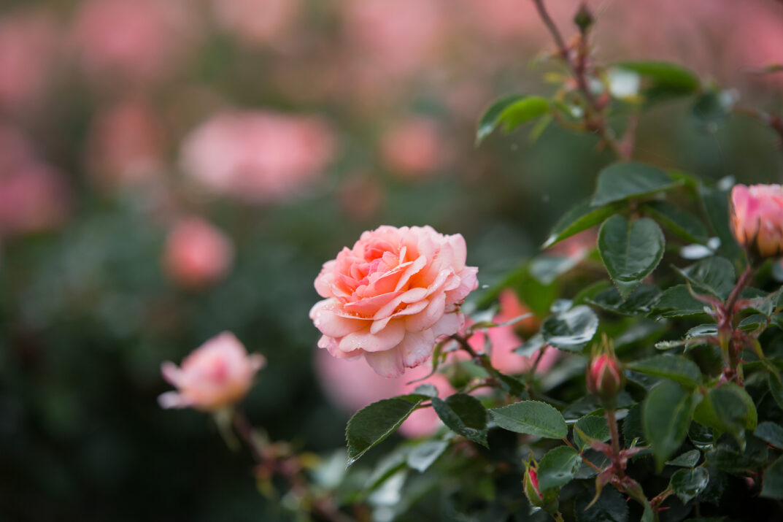 RosaEasyEleganceCalypsoapricotblend-73-5454-1-1