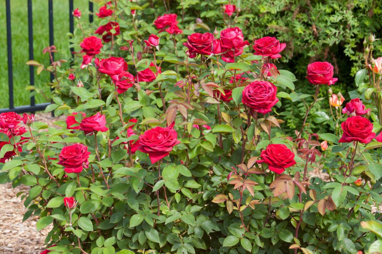 RosaEasyEleganceKashmirdarkred-11-4345-1-2