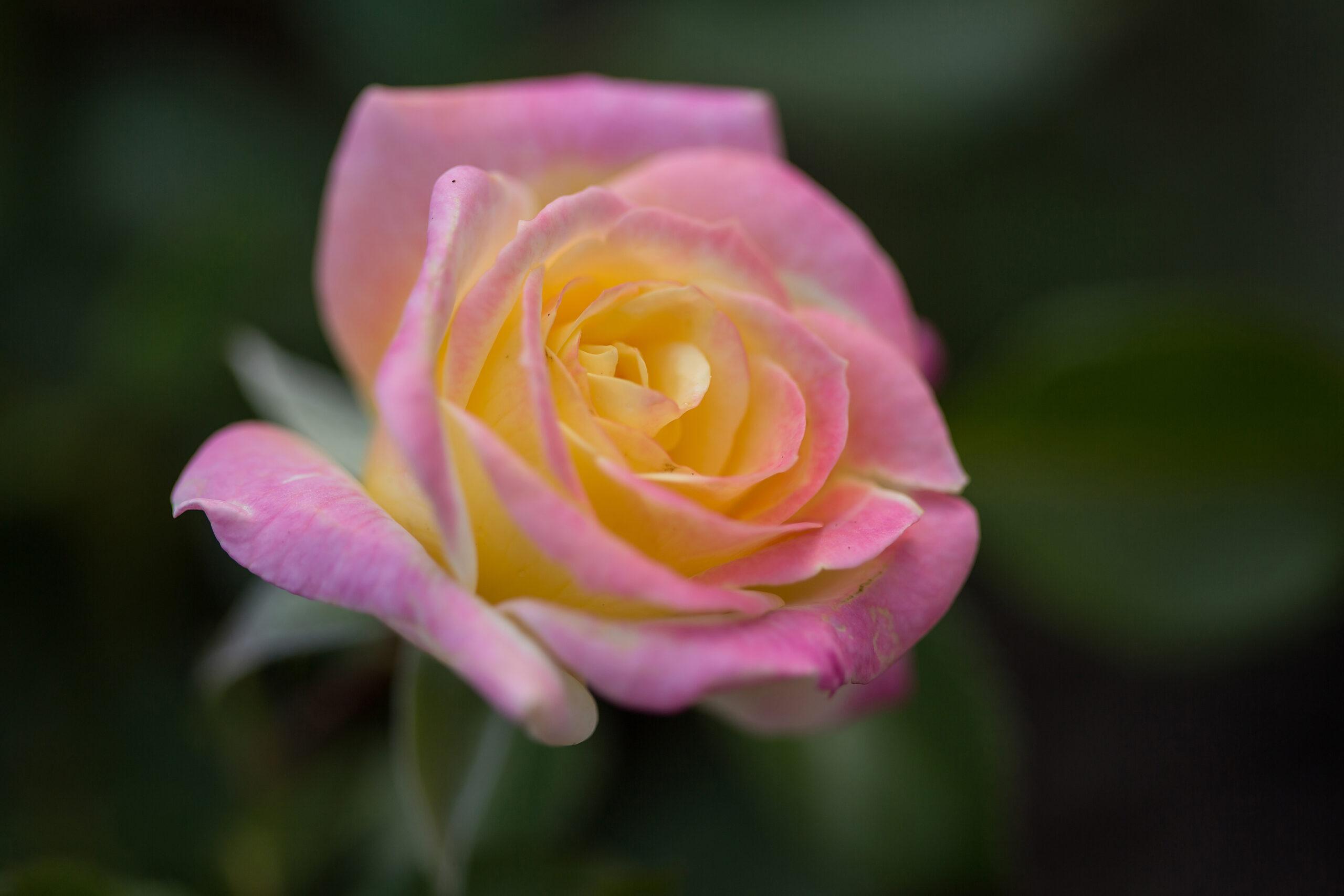 RosaEasyEleganceMusicBoxyellowblend-31-4968-1-1