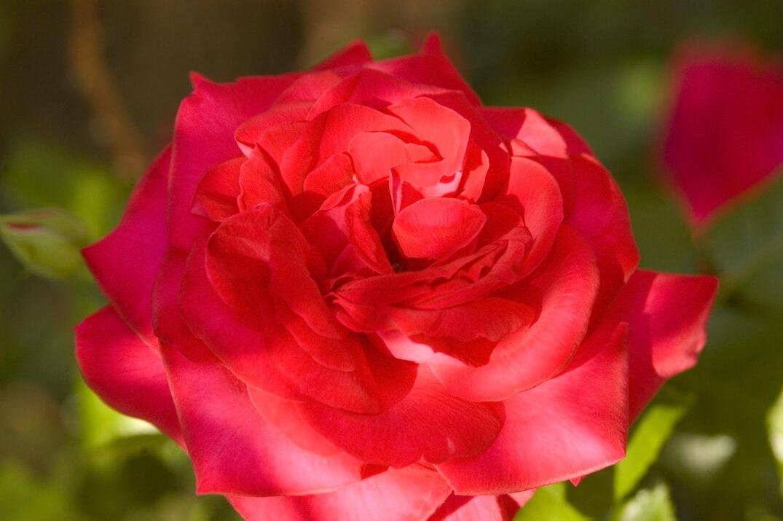 RosaEasyEleganceSuperHero-03-4658-1-1