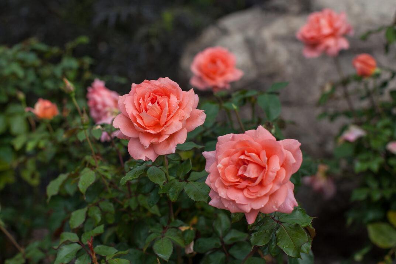 RosaEasyEleganceSweetFragrance-10-4207-1-1