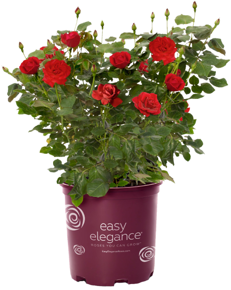 Rose Ing Guide Easy Elegance